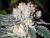 WHITE FIRE OG Feminized – Dutch Seeds Shop