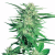 Northern Lights Feminized – Pacific Seed Bank